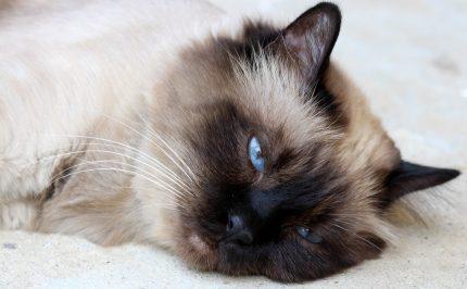 rase de pisici - birmaneza - sfatulparintilor.ro - pixabay_com - cat-1538640_1920
