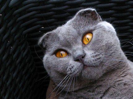 rase de pisici - sfatulparintilor.ro - pixabay_com - scottish-fold-216963