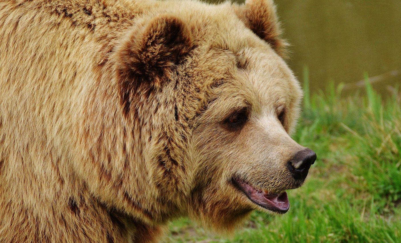 Animalul asociat Spiritului - sfatulparintilor.ro - pixabay_com - bear-1315128_1920