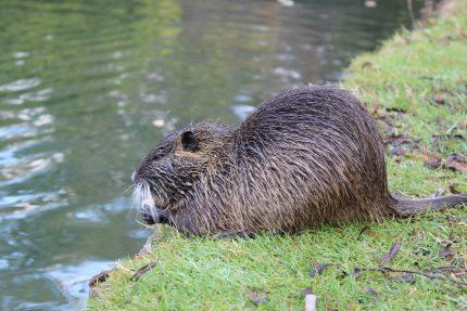 Animalul asociat Spiritului - sfatulparintilor.ro - pixabay_com - beaver-2860796_1920