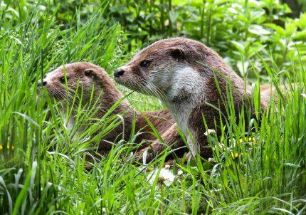 Animalul asociat Spiritului - sfatulparintilor.ro - pixabay_com - otter-779458_1920