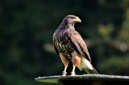 Animalul asociat Spiritului - sfatulparintilor.ro - pixabay_com - peregrine-falcon-3023839_1920