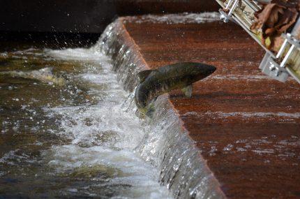 Animalul asociat Spiritului - sfatulparintilor.ro - pixabay_com - salmon-2848584_1920