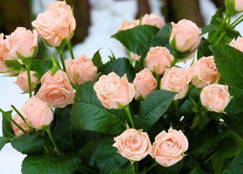 Ingrijire trandafiri. Cum sa pastrezi mult timp trandafirii taiati fara sa se ofileasca. 8 tehnici populare testate. Afla care din ele functioneaza