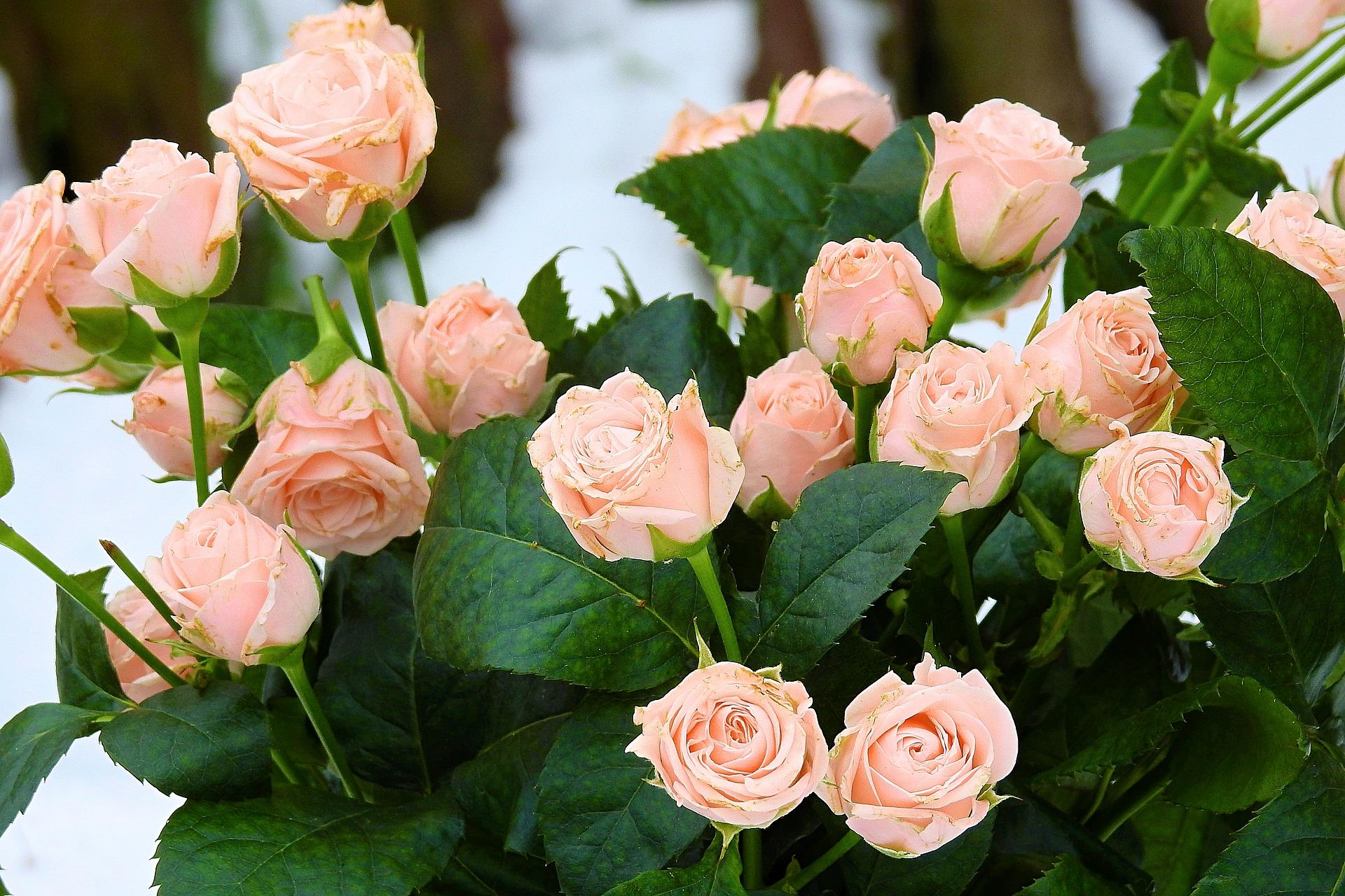 Ingrijire trandafiri - sfatulparintilor.ro - pixabay_com - rose-3130788_1920