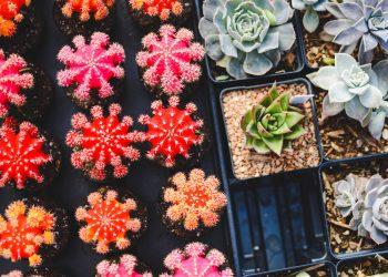 Ce plante sa ai in casa - sfatulparintilor.ro - pixabay_com - cacti-1845159_1920
