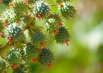 ulei de ricin - sfatulparintilor.ro - pixabay_com - castor-oil-plant-43220_1920