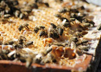 Mierea de albine - sfatulparintilor.ro - pixabay_com - bees-3601859_1920