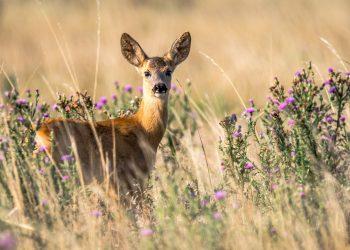 animale puternice - sfatulparintilor.ro - pixabay_com - roe-deer-2615377_1920