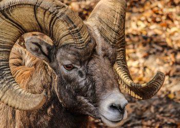 horoscop chinezesc anul caprei - sfatulparintilor.ro - pexels_com - bighorn-ram-male-horns-rocky-mountain-bighorn-sheep-64211