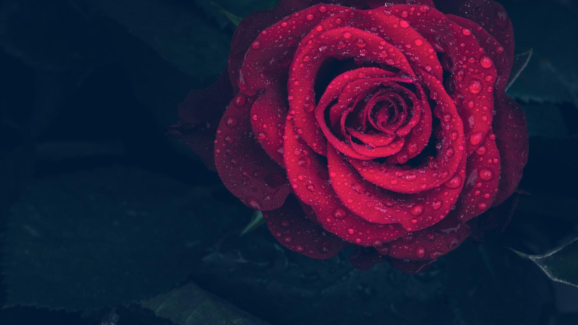 horoscop dragoste - sfatulparintilor.ro - pixabay_com - rose-3407234_1920