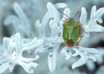 Trucuri naturale ca sa scapi de insecte - sfatulparintilor.ro - pixabay_com - green-stinkwanze-221243_1920