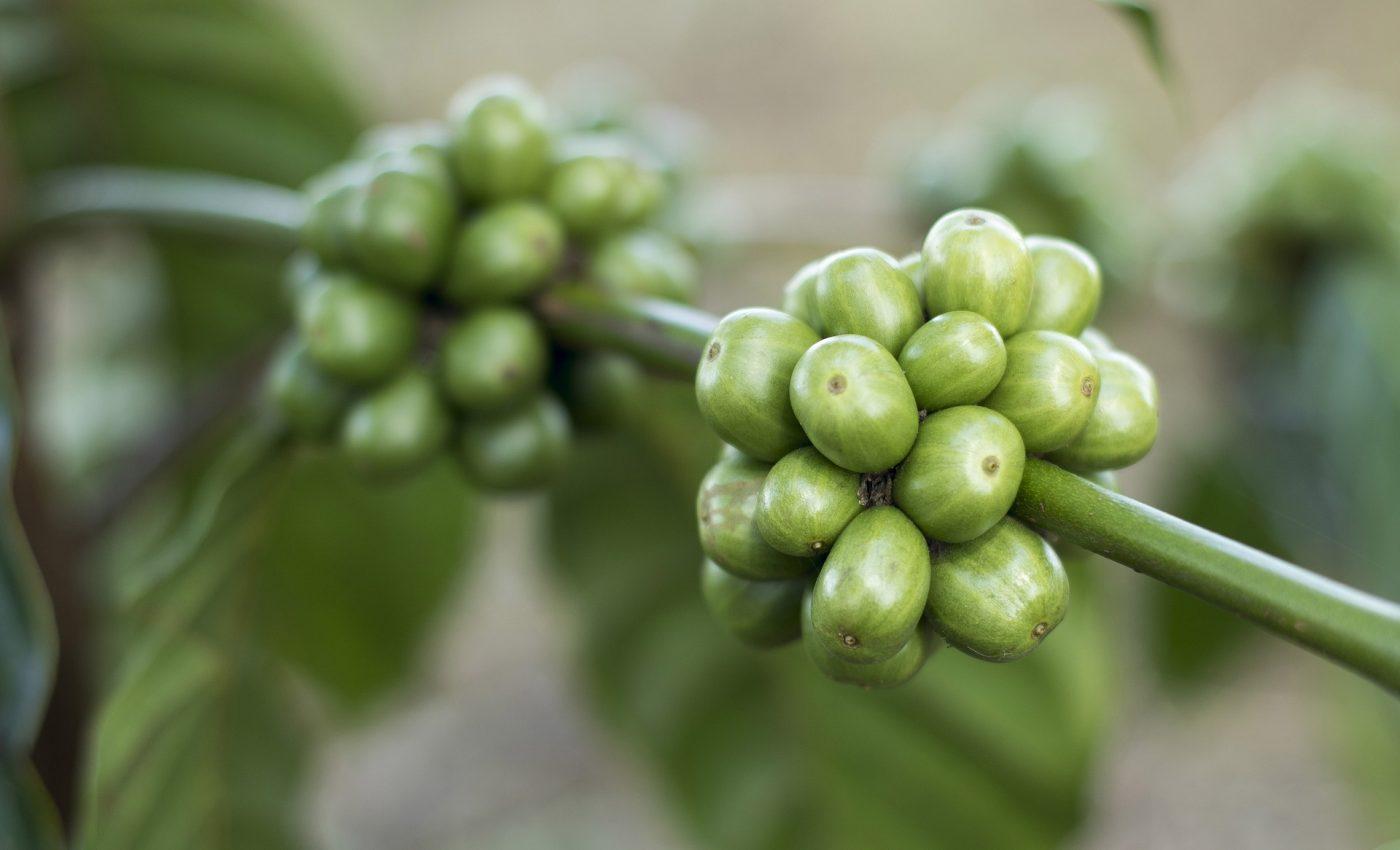 cafea verde - sfatulparintilor.ro - pixabay_com - coffee-1869340_1920