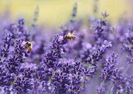 culoare de putere - sfatulparintilor.ro - pixabay_com - lavender-1537694_1920