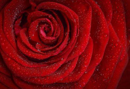 culoare de putere - sfatulparintilor.ro - pixabay-com - rose-1642970_1920