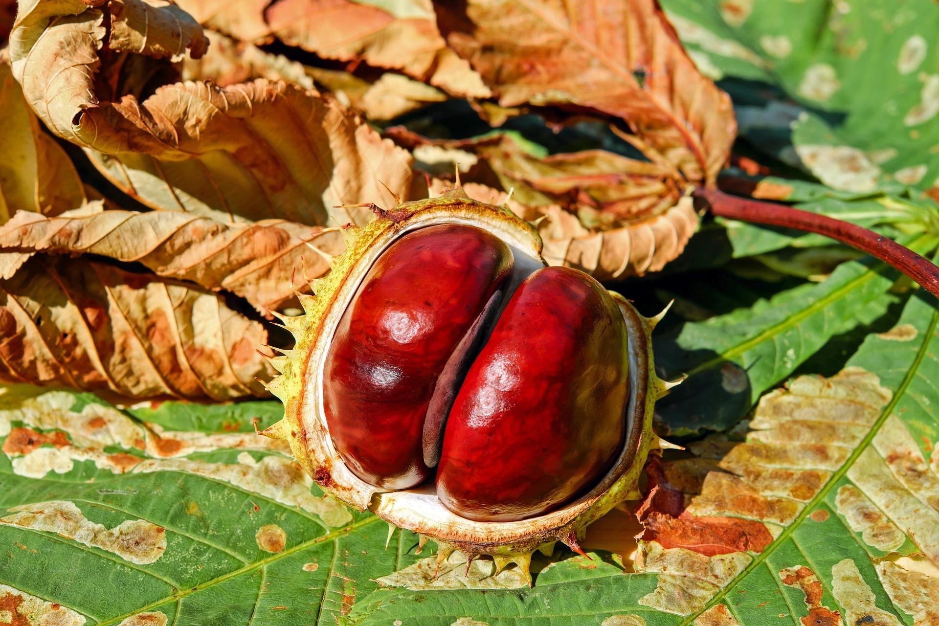 zodia balanta - sfatulparintilor.ro - pixabay_com - chestnut-2740751_1920