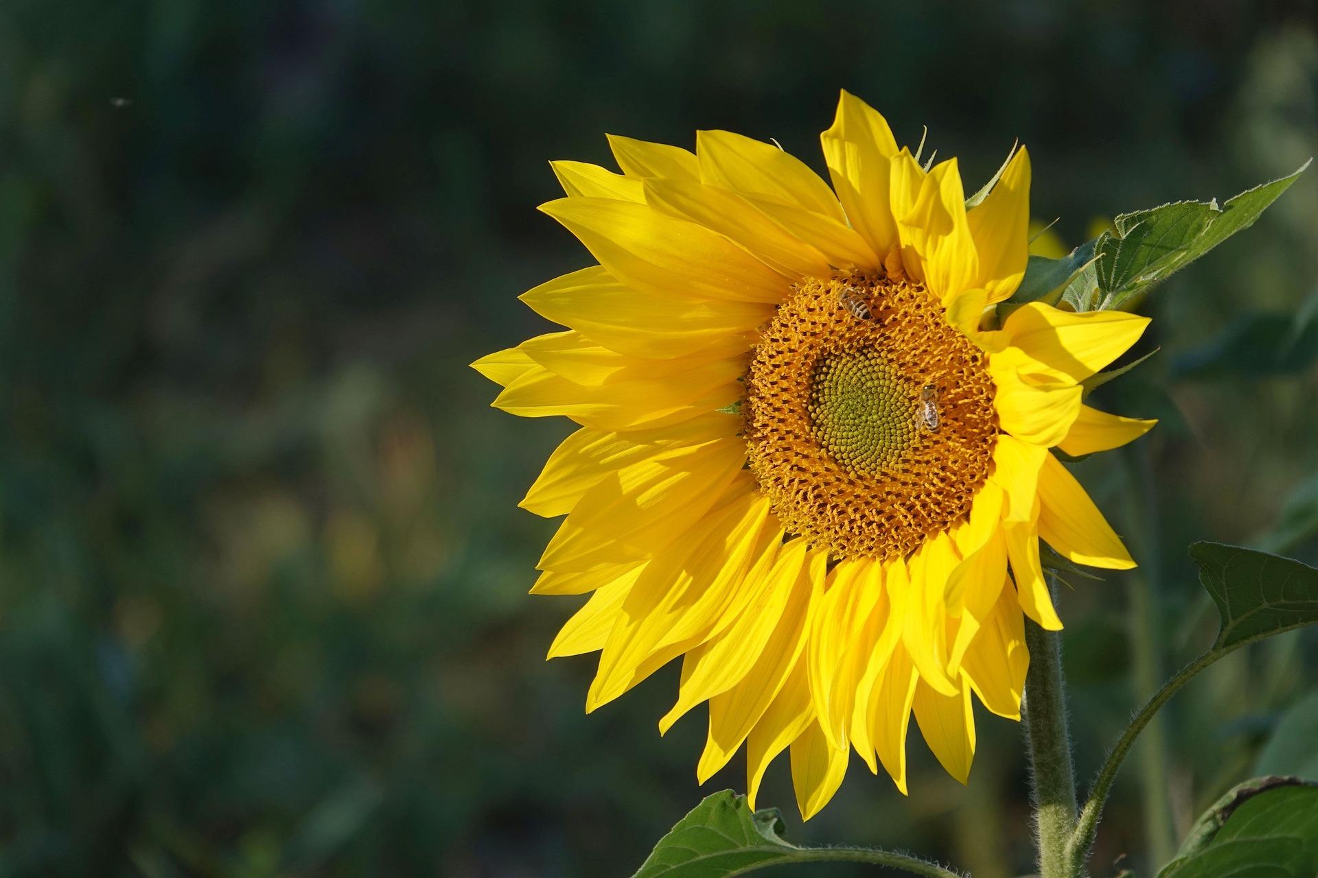 alege floarea preferata - floarea soarelui - sfatulparintilor.ro - pixabay_com - sunflower-in-october-3752613_1920