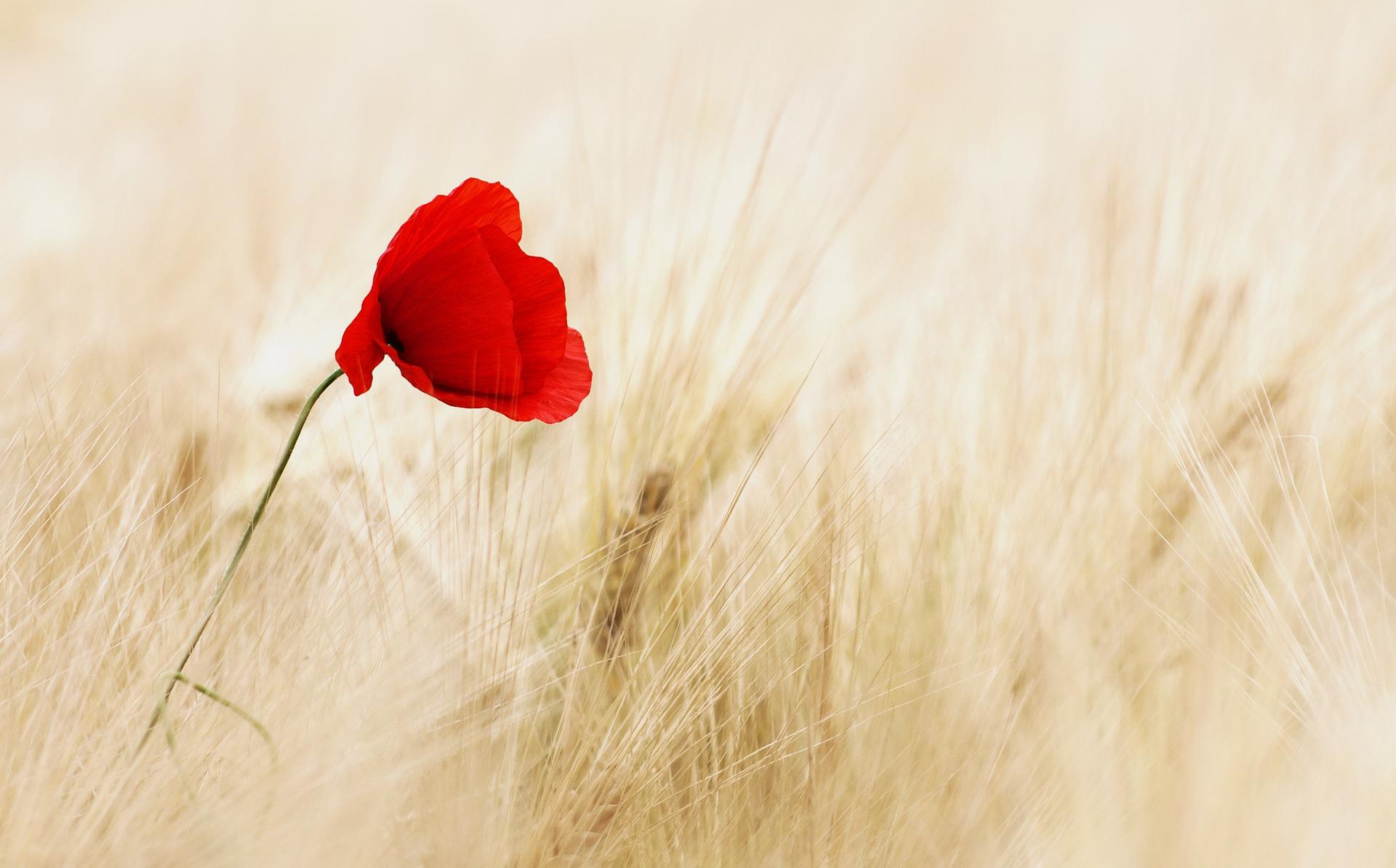 alege floarea preferata - mac - sfatulparintilor.ro - pixabay_com - cereals-100263_1920