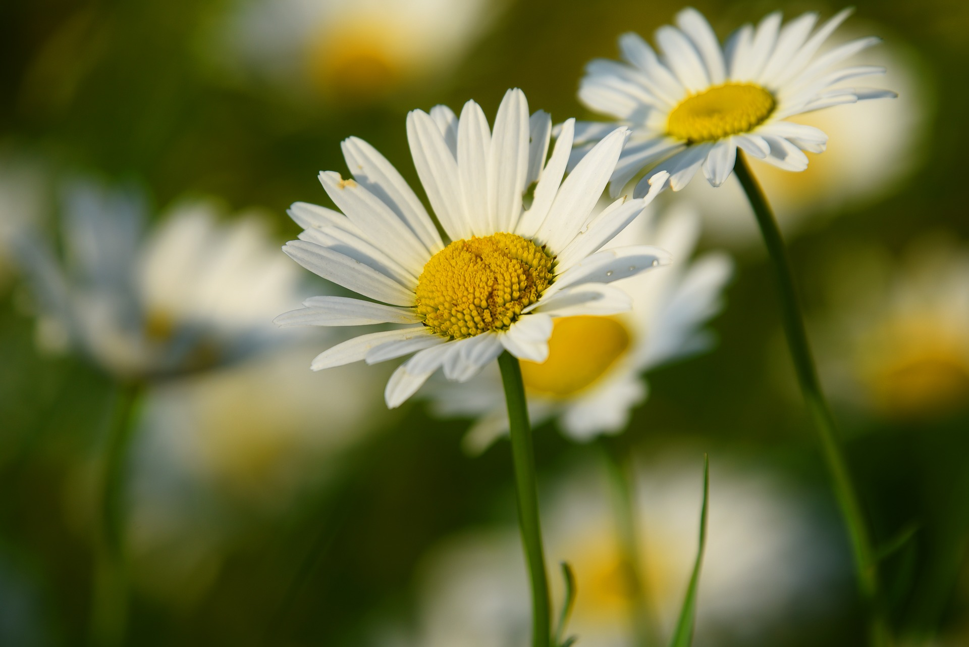 alege floarea preferata - margareta - sfatulparintilor.ro - pixabay-com - ox-eye-daisy-3454721_1920