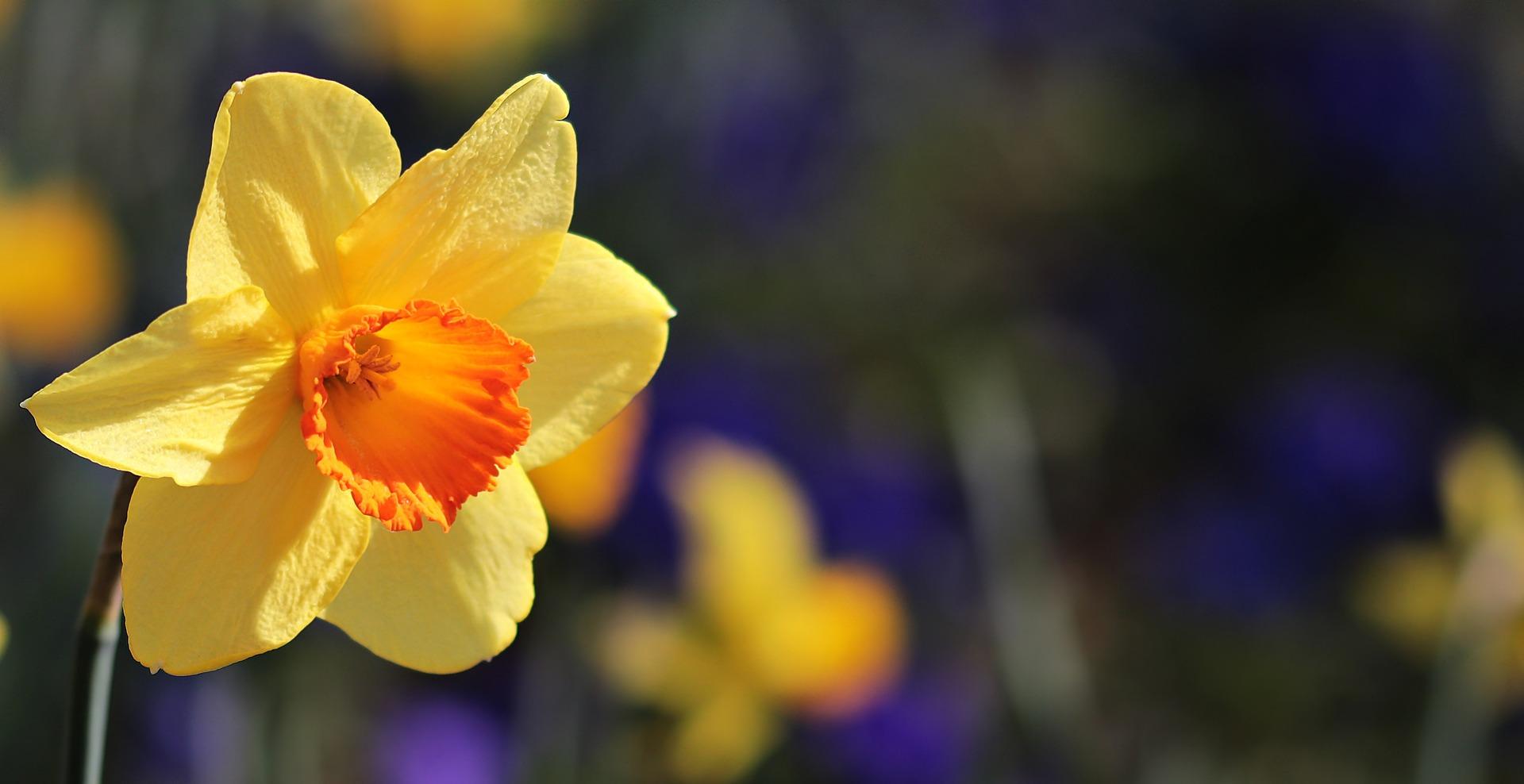alege floarea preferata - narcisa - sfatulparintilor.ro - pixabay_com - flower-3306691_1920