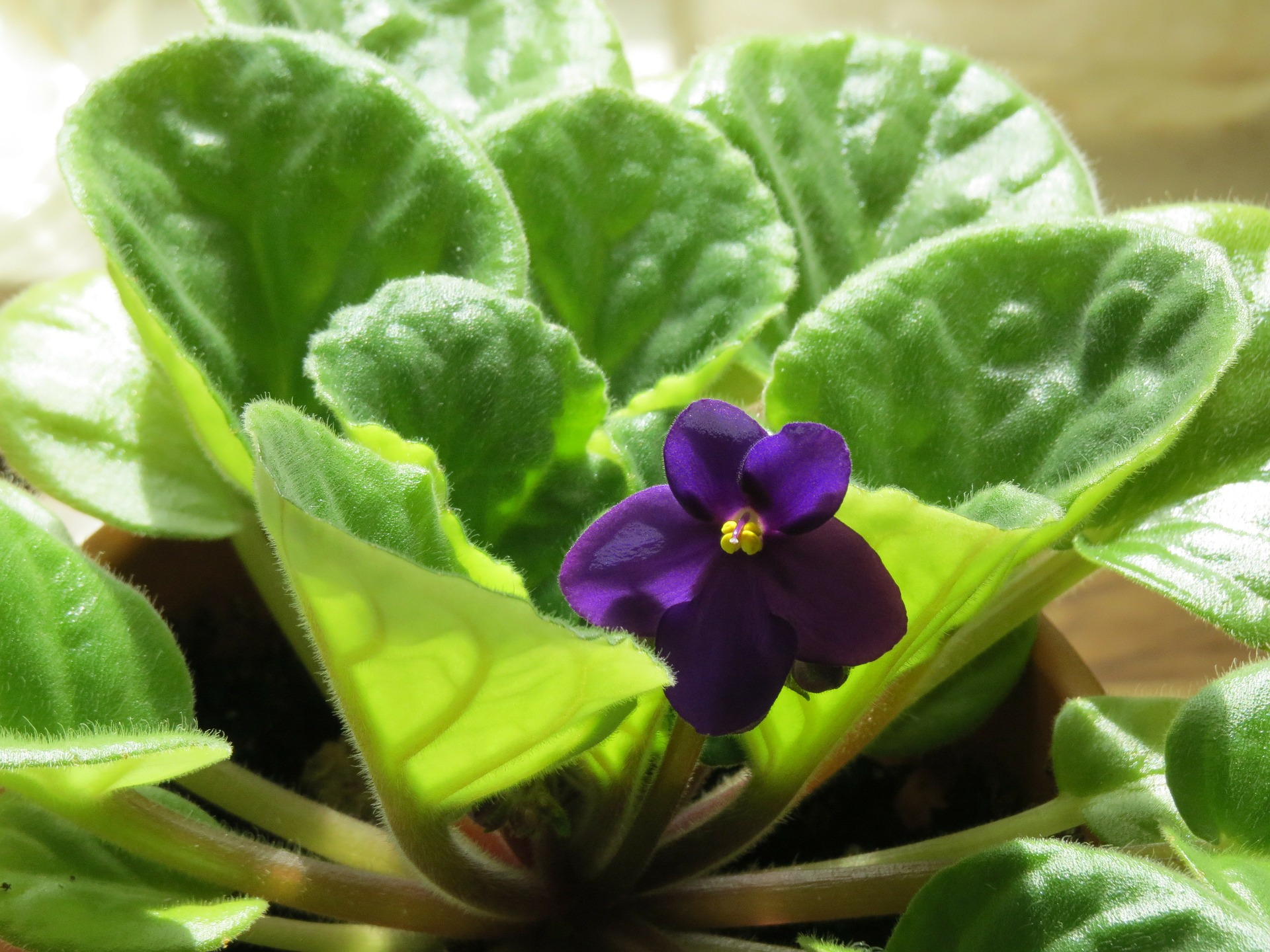 alege floarea preferata - violeta - sfatulparintilor.ro - pixabay_com - african-violet-290097_1920