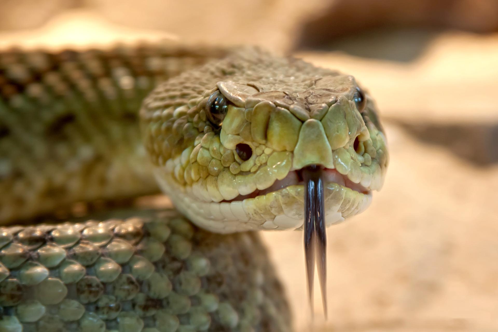 ce inseamna cand visezi serpi - sfatulparintilor.ro - pixabay_com - rattlesnake-653642_1920
