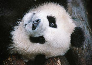 ursul panda - sfatulparintilor.ro - pixabay_com - panda-bear-4461767_1920