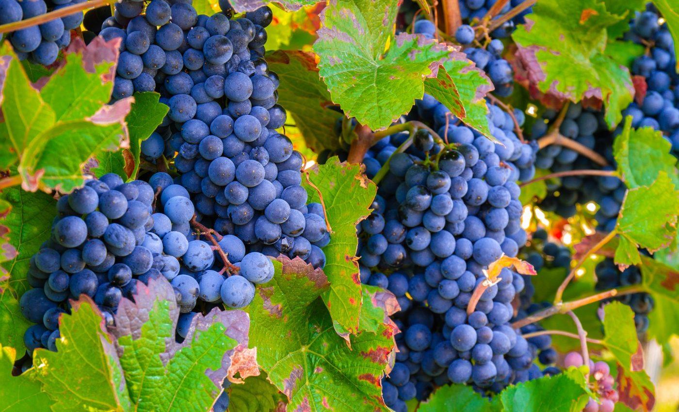horoscop lunar septembrie 2019 - sfatulparintilor.ro - pixabay-com - grapes-3680486_1920