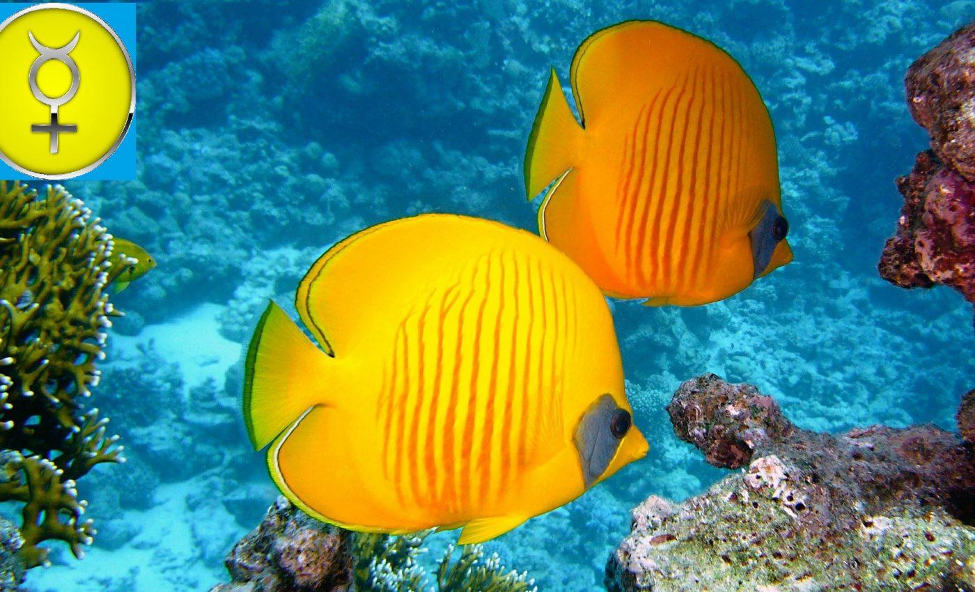 Mercur in Pesti 2020 - sfatulparintilor.ro - pixabay_com - zitronenfalter-fish-380037_1920
