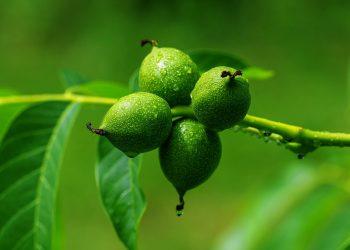 Frunze de nuc pentru păr - SFATULPARINTILOR.RO - PIXABAY-COM - walnut-3471244_1920