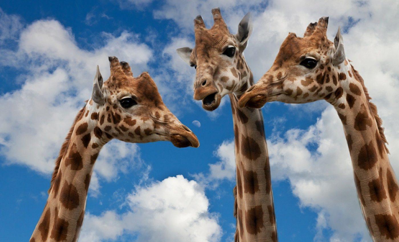 mercur in gemeni 2020 - sfatulparintilor.ro - pixabay_com - giraffes-627031_1920