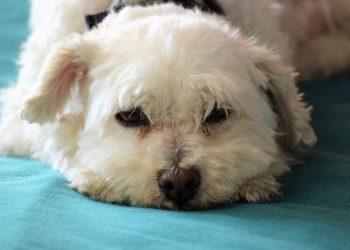 rase de câini care nu lasă păr - sfatulparintilor.ro - pixabay-com - bishon-poodle-5023255_1920