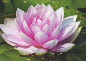 Ce semnifica culoarea roz - sfatulparintilor.ro - pixabay_com - water-lily-3504363_1920