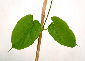 Ce trebuie sa manance un bolnav de TBC - sfatulparintilor.ro - pixabay_com - green-leaf-2922691_1920