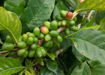 Dieta cu cafea verde - sfatulparintilor.ro - pixabay_com - coffee-4905964_1920
