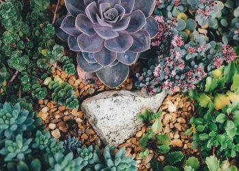 Plante suculente greseli