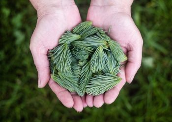 Ce boli vindeca ceaiul de pin