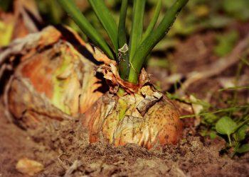 Ce boli vindeca ceapa - sfatulparintilor.ro - pixabay_com - onion-3706937_1920