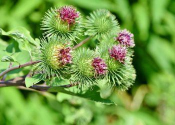 Ce boli vindeca ceaiul de brusture - sfatulparintilor.ro - pixabay_com - great-burdock-3560745_1920