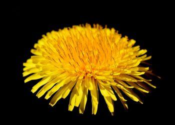 Ce boli vindeca papadia - sfatulparintilor.ro - pixabay_com - dandelion-flower-3336048_1920