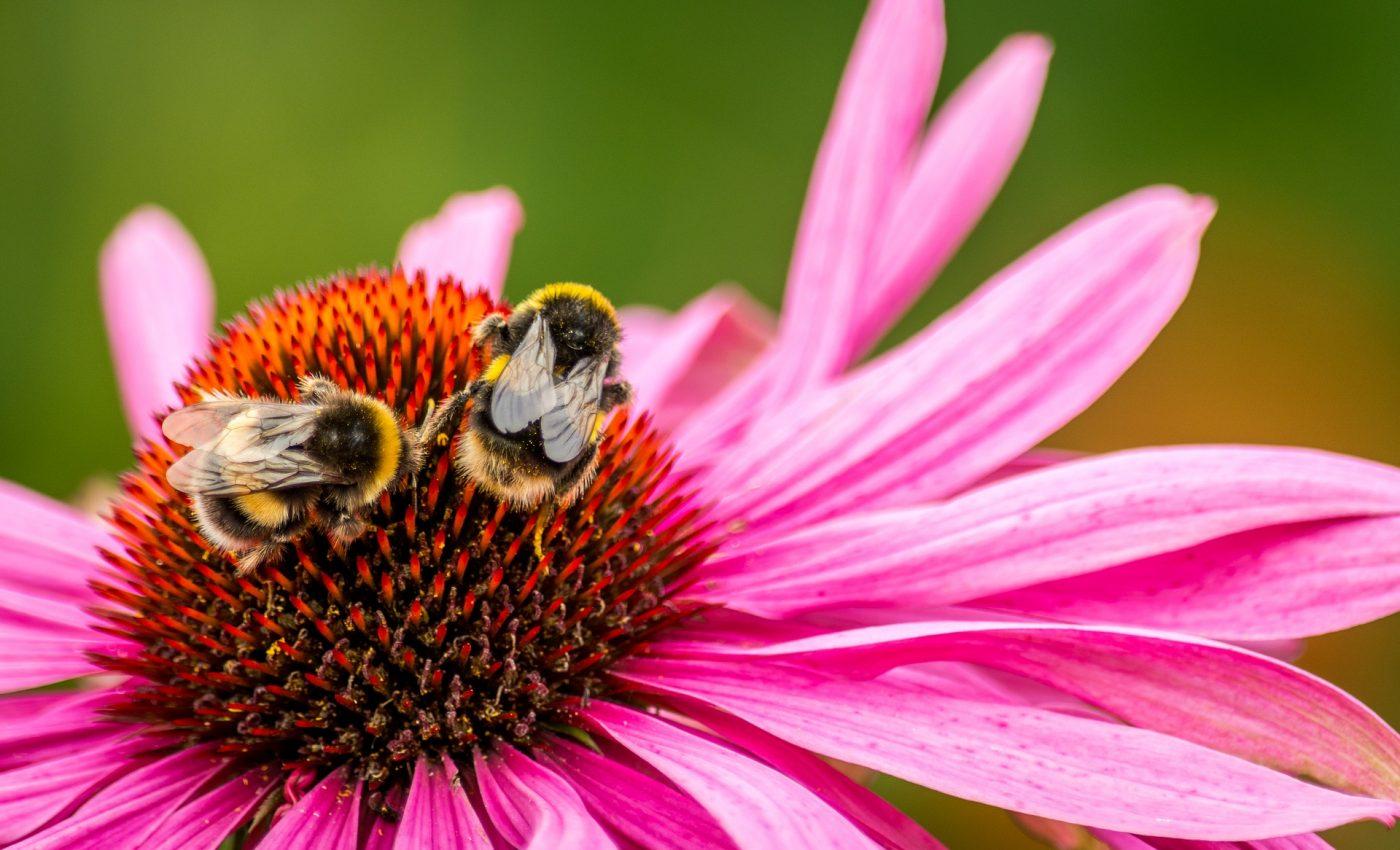 Beneficiile echinaceei- sfatulparintilor.ro - pixabay_com - bee-2735638_1920