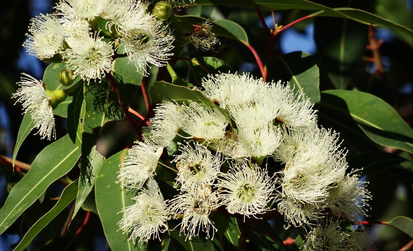 Beneficiile eucaliptului - sfatulparintilor.ro - pixabay-com - eucalyptus-flower-777903_1920