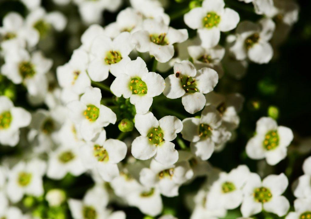 Cele mai parfumate flori din lume