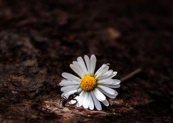 ce inseamna cand visezi furnici - sfatulparinitlor.ro - pixabay_com - daisy-3505783_1920
