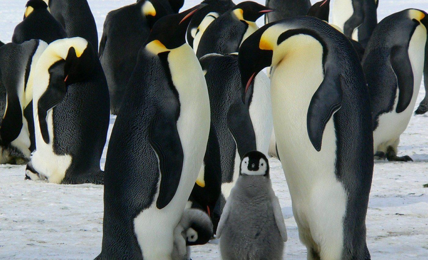 Cele mai scumpe excursii din lume - sfatulparintilor.ro - pixabay_com - emperor-penguins-429128_1920