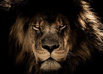 portalul leului - sfatulparintilor.ro - pixabay_com - african-lion-2888519_1920