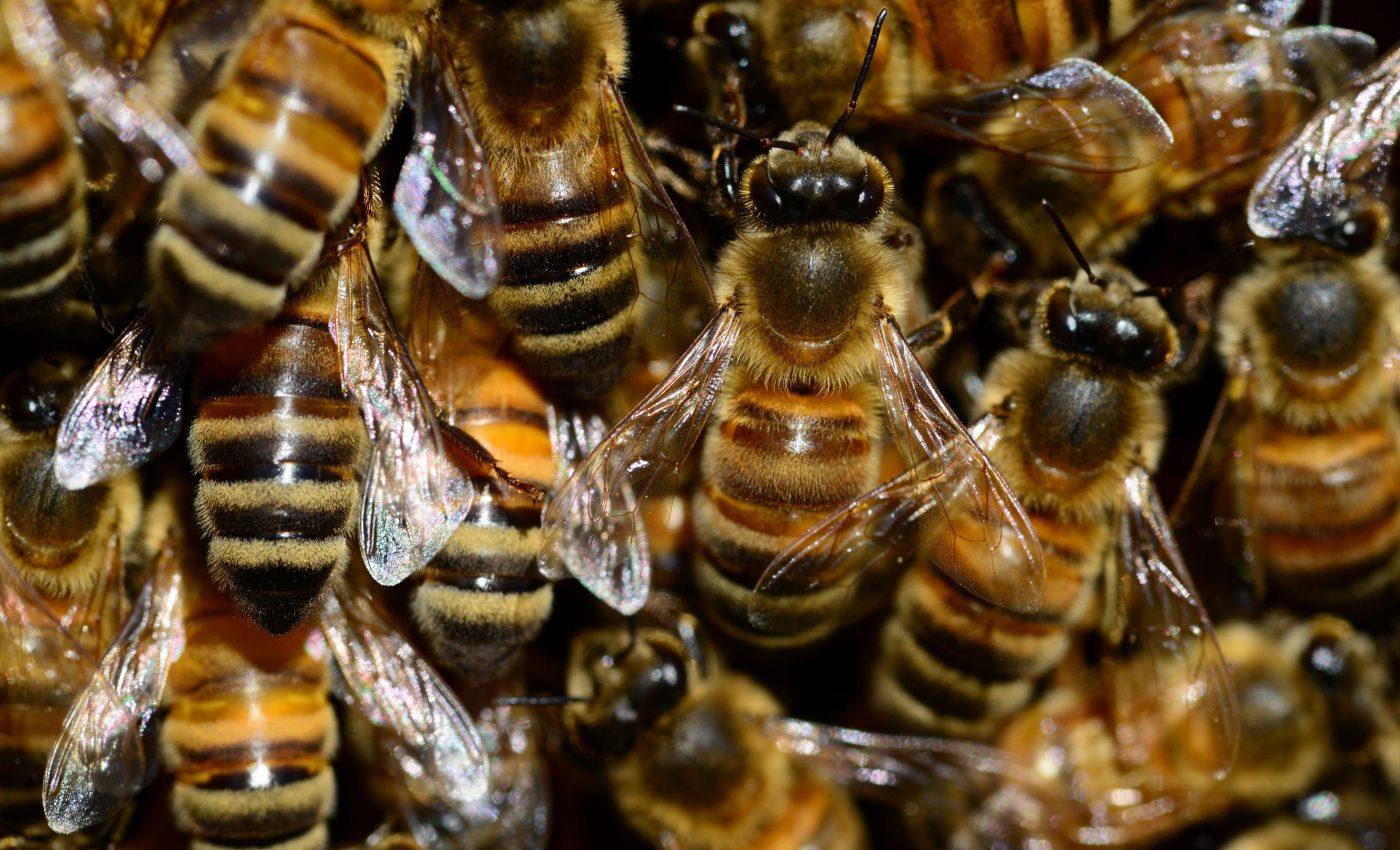 Terapia cu venin de albine - sfatulparintilor.ro - piqsels.com-id-fijuj